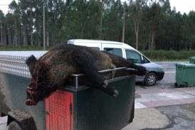 Gran jabalí de 165 kg cazado en Galicia