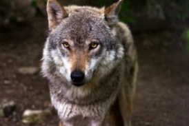 El Lobo. El sabio mudo