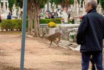Un corzo en el cementerio