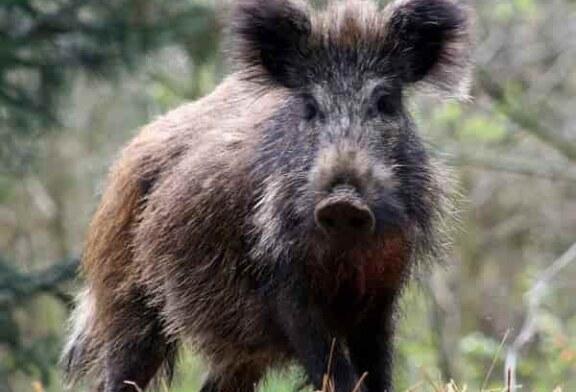 La caza tradicional de jabalís puede ser insuficiente ante la Peste Porcina Africana