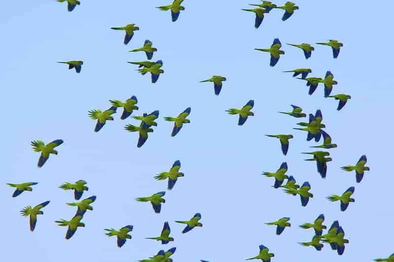 Madrid sacrificará 12.000 cotorras invasoras que amenazan la biodiversidad