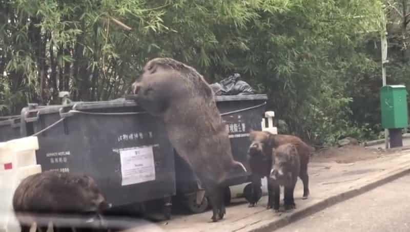 Rumanía obliga a sacrificar a más de 25.000 cerdos tras detectarse un brote de peste porcina