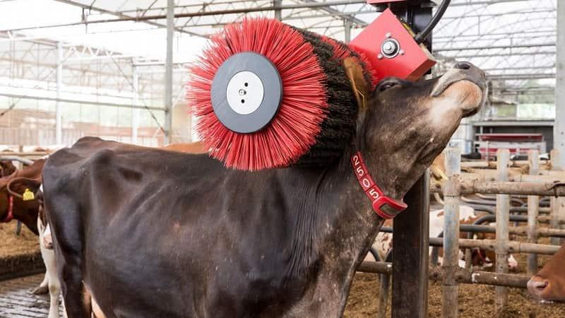 El director de Protección Animal de Iglesias defiende que el hombre le «roba» la leche a las vacas