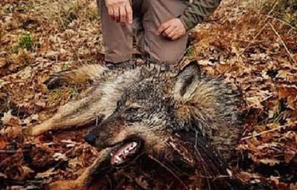 Cumplido el cupo de lobos autorizados por la Junta de Castilla y León