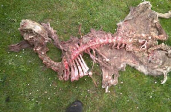 Las osas Claverina y Sorita matan 16 ovejas y cuatro corderos en 14 meses en Navarra