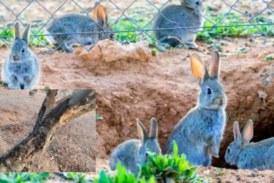 Ecologistas dicen que el conejo corre peligro, pero un agricultor arranca más de 1000 árboles por culpa de esta plaga