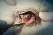 Aumentan los casos de thelaziosis en España