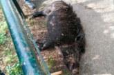 Susto en Lesaca: un jabalí desciende desde una batida al pueblo y hiere a una mujer en la pierna