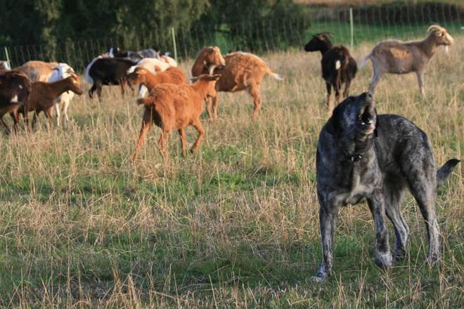 ENBA critica la decisión de proteger al lobo