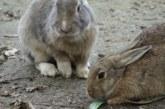 Una plaga de conejos arrasa fincas de cereal durante años en Burgos