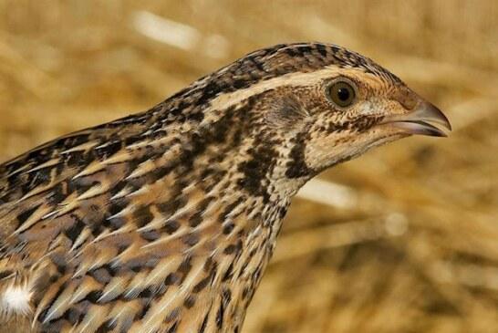 Seo/Birdlife inicia una campaña para suspender la caza de la codorniz