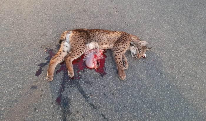 Muere atropellado un lince en Doñana, el primero del año