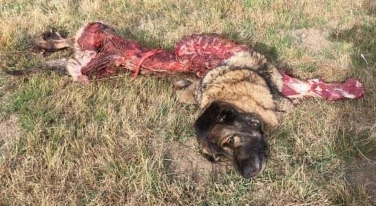 Los lobos matan en Alava cuatro ovejas y un mastín