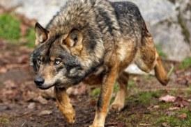 Romance de la loba parda