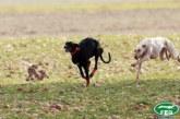 """""""Ocho galgos en 2019"""": el SEPRONA, de nuevo, desmonta la mentira animalista sobre los galgos abandonados por cazadores"""