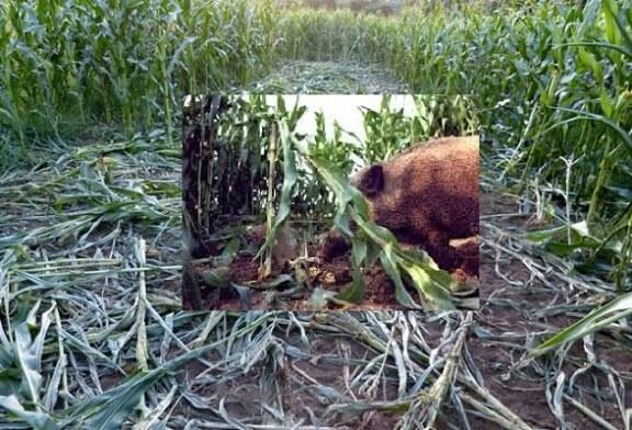 Daños a la agricultura y especies silvestres en tiempos de estado de alarma