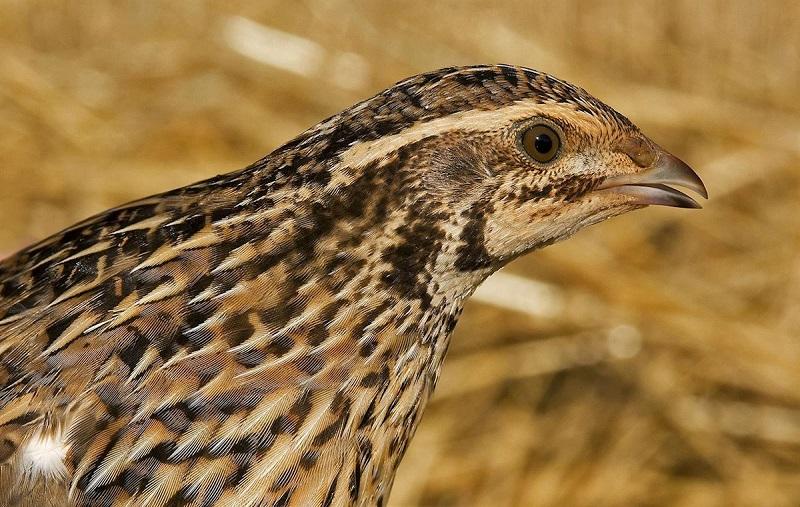 Seo Birdlife inicia su campaña para cerrar la caza de la codorniz