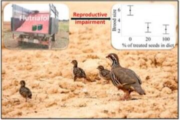 Un fungicida usado en la semilla de siembra reduce las polladas de perdiz a la mitad