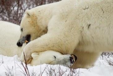 Los osos polares recurren al canibalismo por la crisis climática y la falta de alimentos