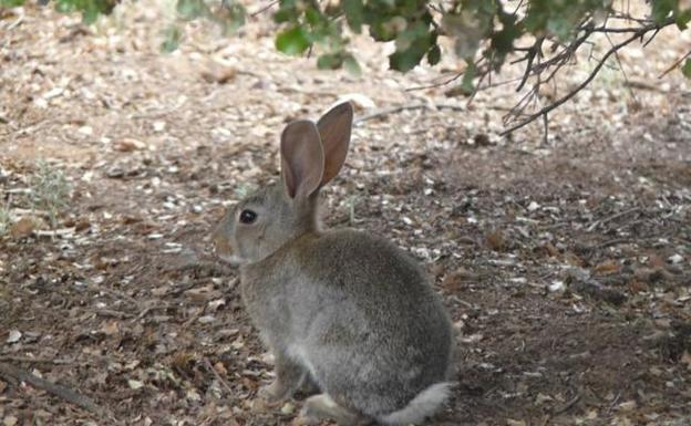 Castilla-La Mancha permite la caza desde este lunes y durante el estado de alarma por la plaga de conejos
