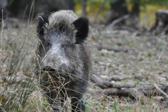 Agricultores reclaman que el control de daños por fauna silvestre sea considerada actividad esencial y estratégica