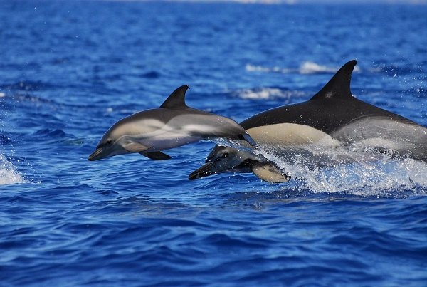Delfines en el Cantábrico (+vídeo)