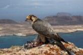 La RFEC exige a 'Quercus' la rectificación del artículo donde se acusa a los cetreros de expoliar nidos de tagarote