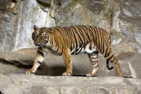 El coronavirus afecta a los grandes felinos: un tigre de un zoo de Nueva York, infectado