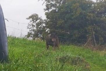 Los lobos ya llegan a las puertas de los pueblos en zonas del norte de España
