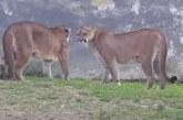 Impresionante vídeo en el que un jabalí interrumpe una pelea entre dos pumas