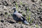 La Comisión Europea por el momento no prohibirá la caza de la tórtola y apuesta por una solución en la que tengan cabida los cazadores
