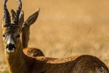 Asociación del Corzo Español: El objetivo es mantener al corzo libre y en equilibrio natural