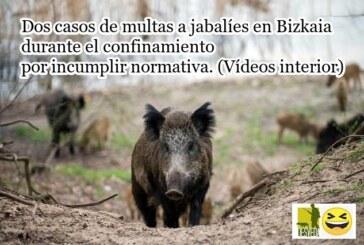 ¡INCREIBLE! Dos casos de multas a jabalíes en Bizkaia durante el confinamiento por incumplir normativa