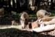 Los jabalíes cambian su comportamiento en ausencia de actividad humana