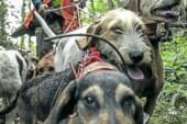 Exigen la apertura de la caza para regular la población de corzo y jabalí
