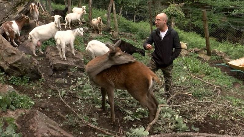 Denuncian al ganadero que crío y ayudó a un ciervo entre su rebaño de cabras