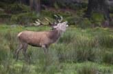 Los machos de ciervo con más rivales producen cuernas más grandes pero viven menos