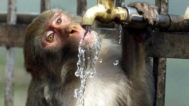 Un mono alcohólico mata a mordiscos a un hombre y hiere a otros 250 en un ataque de furia en la India
