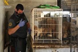 El SEPRONA localiza un presunto criadero ilegal con 544 perros en condiciones deplorables