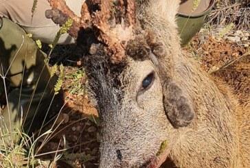Ejemplar de corzo con cuerna rara y curiosa, cazado por Oscar España en Castilla y León