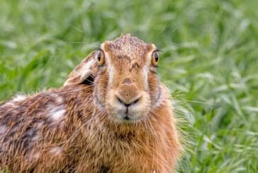 10 cosas que no sabías sobre la liebre ibérica