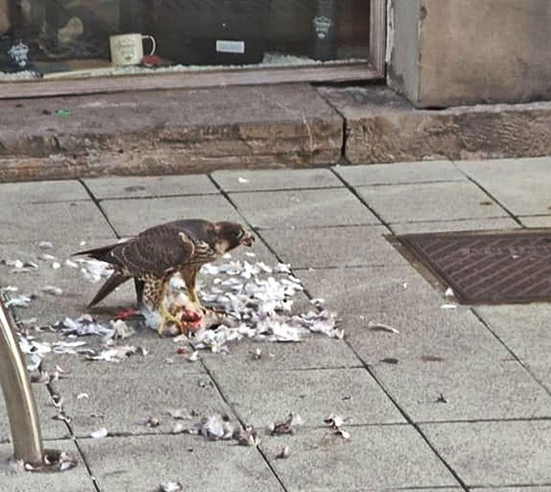 Halcón devora una paloma en pleno centro de Gijón