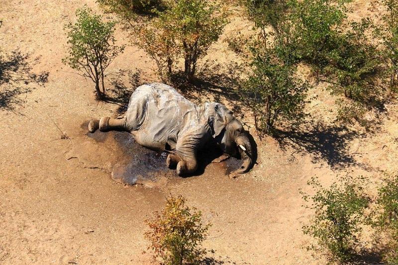 La muerte de elefantes en Botsuana podría deberse a una neurotoxina