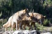 El Gobierno de Cantabria autoriza abatir 34 lobos en los próximos 12 meses en la Comunidad