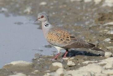 Se abre la media veda: cazadores y ecologistas se baten por codornices, tórtolas y palomas hasta final de septiembre