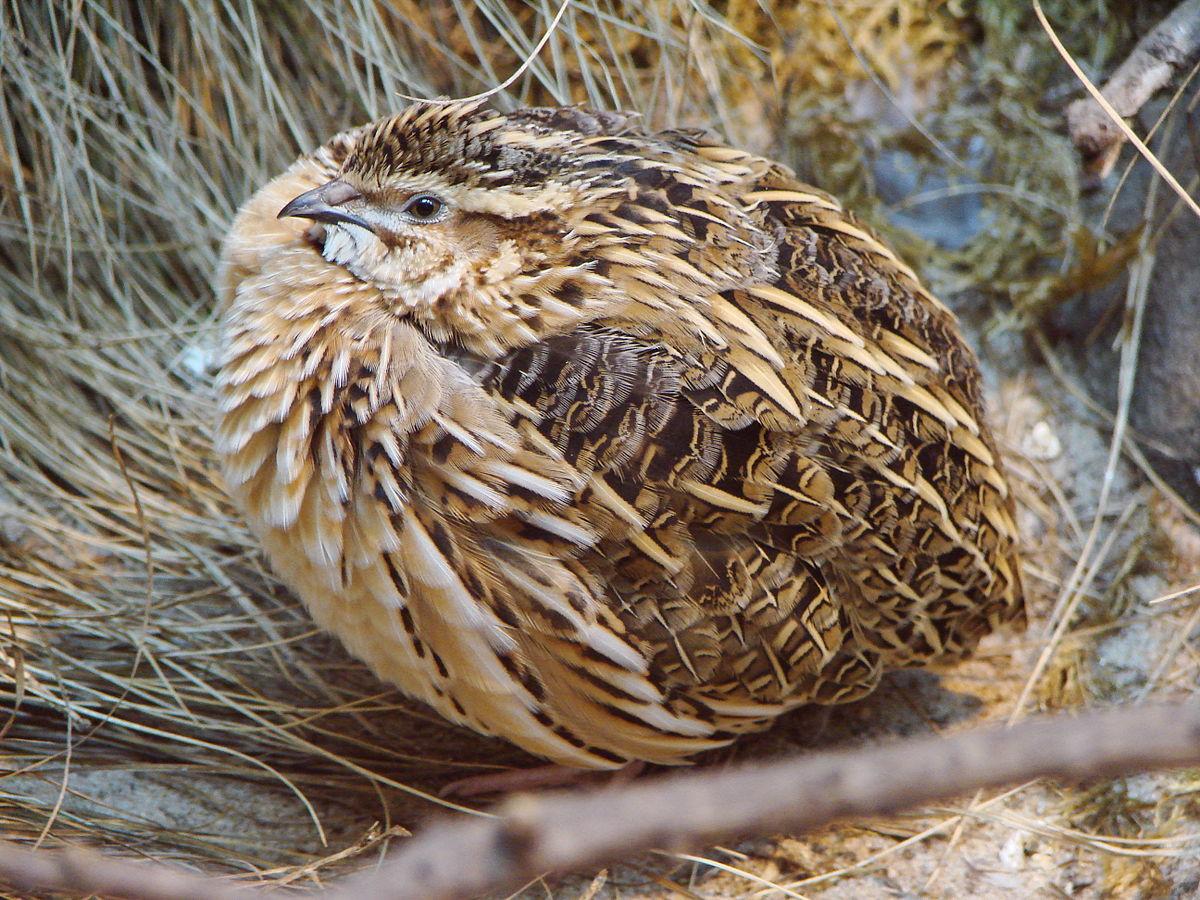 La RFEC advierte que SEO/BirdLife persigue ahora prohibir la caza de la codorniz