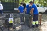 Las trampas para jabalíes de Madrid cazan a 58 ejemplares en apenas dos meses