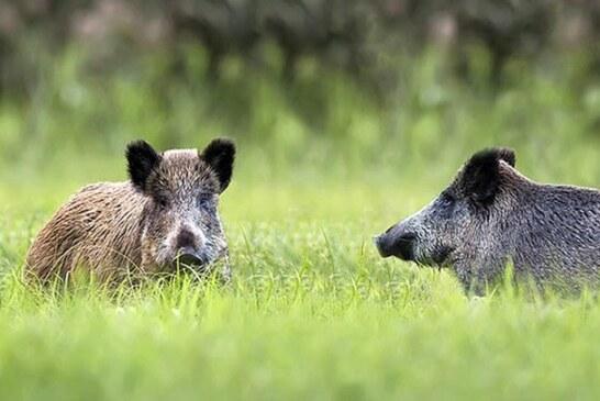 Demostrado: la caza mayor colectiva con perros es esencial para el control del jabalí