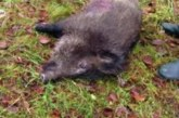 Alemania declara su primer foco de peste porcina africana en jabalíes