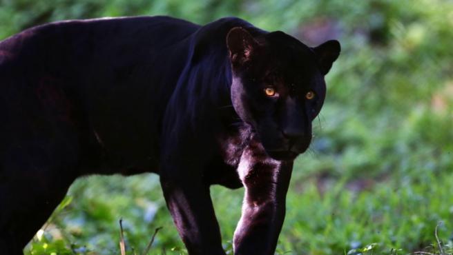 Alertan de la presencia de una pantera negra en un pueblo de Granada